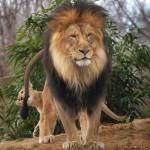 Лев и… львиная семья.